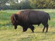 bisonte2